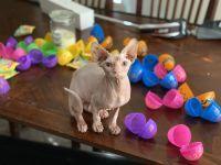 Sphynx Cats for sale in Phoenix, AZ, USA. price: NA