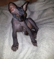 Sphynx Cats for sale in 02906 Sereno Ln, Fort Worth, TX 76244, USA. price: NA