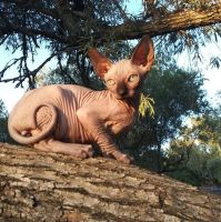 Sphynx Cats for sale in Placerville, CA 95667, USA. price: NA