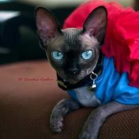 Sphynx Cats for sale in Tallahassee, FL, USA. price: NA