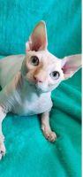 Sphynx Cats for sale in Westland, MI, USA. price: NA
