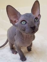 Sphynx Cats for sale in Fairfield, AL 35064, USA. price: NA