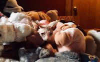 Sphynx Cats for sale in Van Nuys, Los Angeles, CA, USA. price: NA
