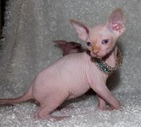 Sphynx Cats for sale in Helena, MT, USA. price: NA