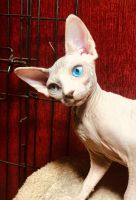 Sphynx Cats for sale in Madison, GA 30650, USA. price: NA