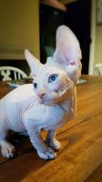 Sphynx Cats for sale in Miami, FL, USA. price: NA