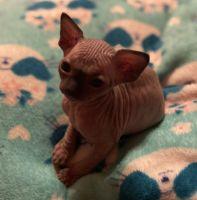 Sphynx Cats for sale in Danville, AL 35619, USA. price: NA