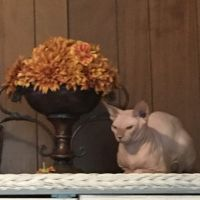Sphynx Cats for sale in 415 N Pine St, Seaford, DE 19973, USA. price: NA