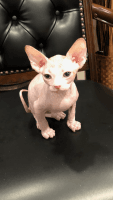 Sphynx Cats for sale in Spartanburg, SC, USA. price: NA