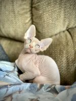 Sphynx Cats for sale in Chicago, IL 60657, USA. price: NA