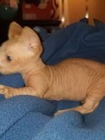 Sphynx Cats for sale in Newark, OH, USA. price: NA