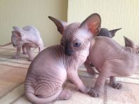 Sphynx Cats for sale in San Jose, CA, USA. price: NA