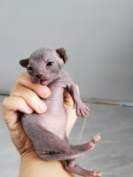 Sphynx Cats for sale in Bayonne, NJ, USA. price: NA