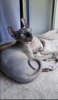 Sphynx Cats for sale in Chicago, IL, USA. price: NA