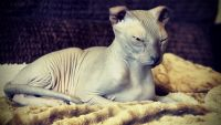 Sphynx Cats for sale in Black Hawk, CO, USA. price: NA