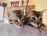 Sphynx Cats for sale in Tennessee City, TN 37055, USA. price: NA