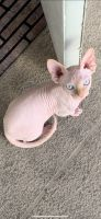 Sphynx Cats for sale in West Palm Beach, FL, USA. price: NA
