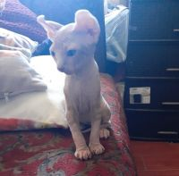 Sphynx Cats for sale in Spanish Flat, CA 94558, USA. price: NA