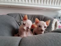 Sphynx Cats for sale in 86574 Highland Rd, Willow River, MN 55795, USA. price: NA