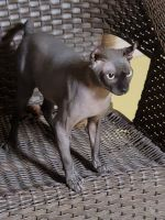 Sphynx Cats for sale in Riverside, CA, USA. price: NA