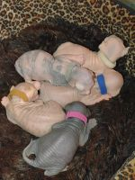 Sphynx Cats for sale in Mapleton, PA 17052, USA. price: NA