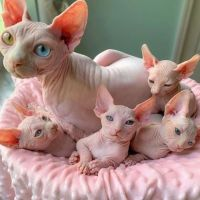 Sphynx Cats for sale in East St Louis, IL 62206, USA. price: NA