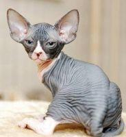 Sphynx Cats for sale in Utah Ave, Flint, MI 48506, USA. price: NA