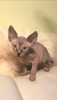Sphynx Cats for sale in 535 Neptune Ave, Brooklyn, NY 11224, USA. price: NA
