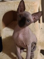 Sphynx Cats for sale in 1342 N Archie Ave, Fresno, CA 93703, USA. price: NA