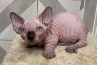 Sphynx Cats for sale in Florida City, FL, USA. price: NA