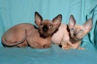 Sphynx Cats for sale in Port Royale Blvd, Fort Lauderdale, FL 33308, USA. price: NA