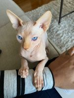 Sphynx Cats for sale in King of Prussia, PA, USA. price: NA