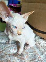 Sphynx Cats for sale in Salt Lake City, UT 84118, USA. price: NA