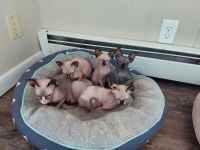 Sphynx Cats for sale in Fostoria, OH 44830, USA. price: NA