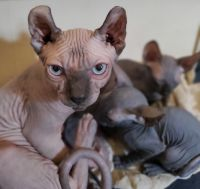 Sphynx Cats for sale in Revere, MA, USA. price: NA