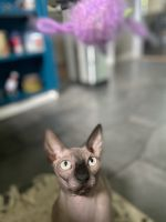 Sphynx Cats for sale in East Haddam, CT, USA. price: NA