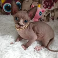Sphynx Cats for sale in California City, CA, USA. price: NA