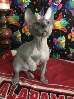 Sphynx Cats for sale in Blountsville, AL 35031, USA. price: NA