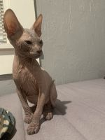 Sphynx Cats for sale in St. Petersburg, FL, USA. price: NA