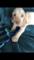 Spinone Italiano Puppies Photos