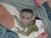 Squirrel Monkey Animals for sale in Miami Gardens, FL, USA. price: NA