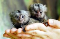 Squirrel Monkey Animals for sale in Cleveland, OH, USA. price: NA