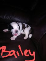 St. Bernard Puppies for sale in Bradford County, PA, USA. price: NA
