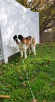 St. Bernard Puppies for sale in Horsham, PA, USA. price: NA