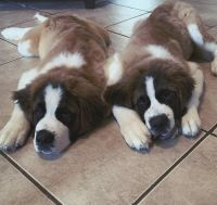 St. Bernard Puppies for sale in New Orleans, LA, USA. price: NA