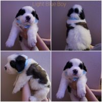 St. Bernard Puppies for sale in Safford, AZ 85546, USA. price: NA