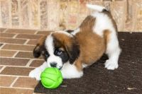 St. Bernard Puppies for sale in Center Valley, PA 18034, USA. price: NA