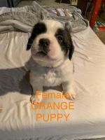 St. Bernard Puppies for sale in Aberdeen, MD, USA. price: NA