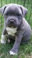 Staffordshire Bull Terrier Puppies for sale in Doddridge, Sulphur Township, AR 71826, USA. price: NA