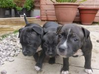 Staffordshire Bull Terrier Puppies for sale in Bairoil, WY 82322, USA. price: NA